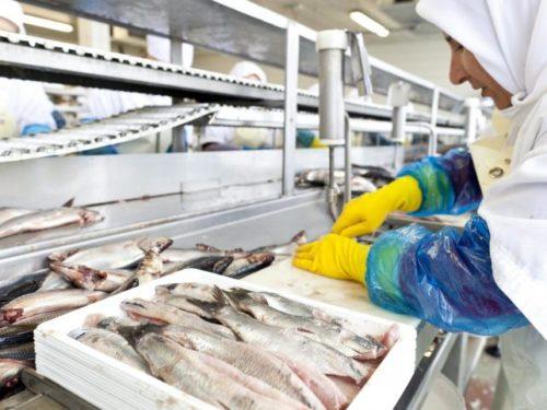 sledz przetwornia rybna produkcja